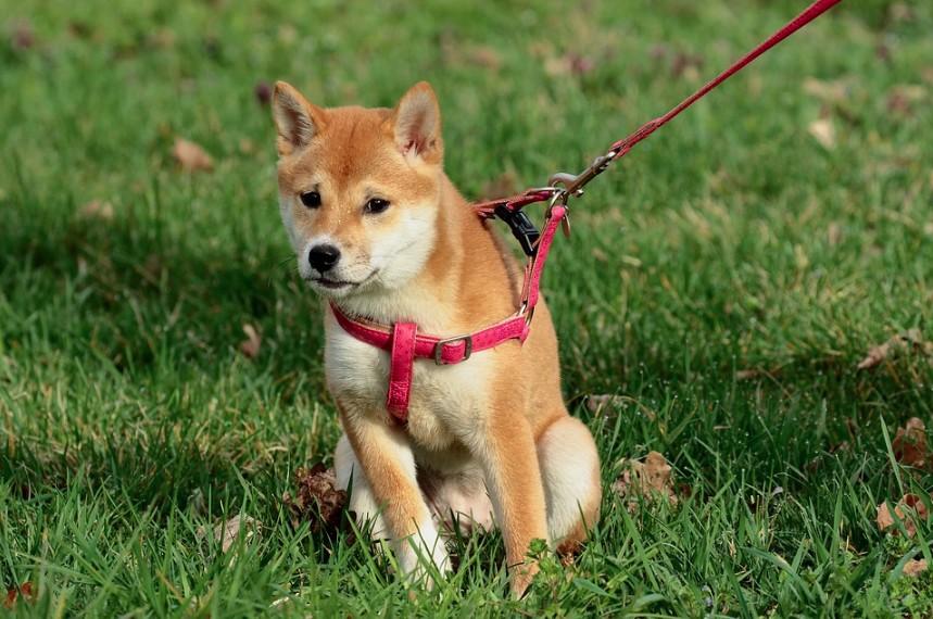 Postroj pro psa na tahání
