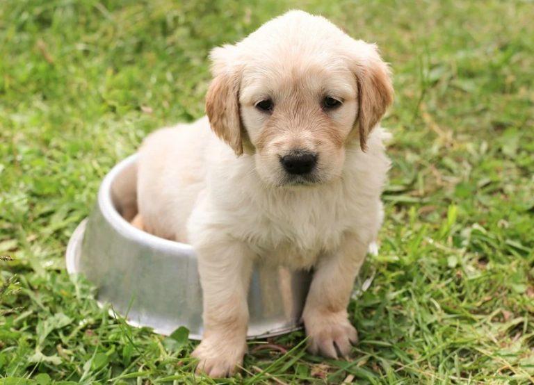 Jak krmit štěně, aby dobře rostlo a prospívalo
