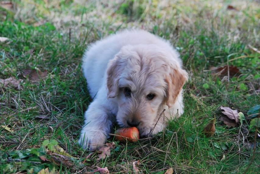 Jaké krmivo pro štěně?