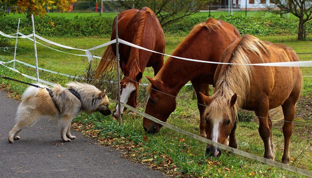 Koně a pes
