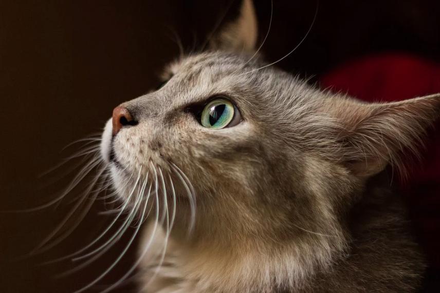 Lososový olej pro kočky