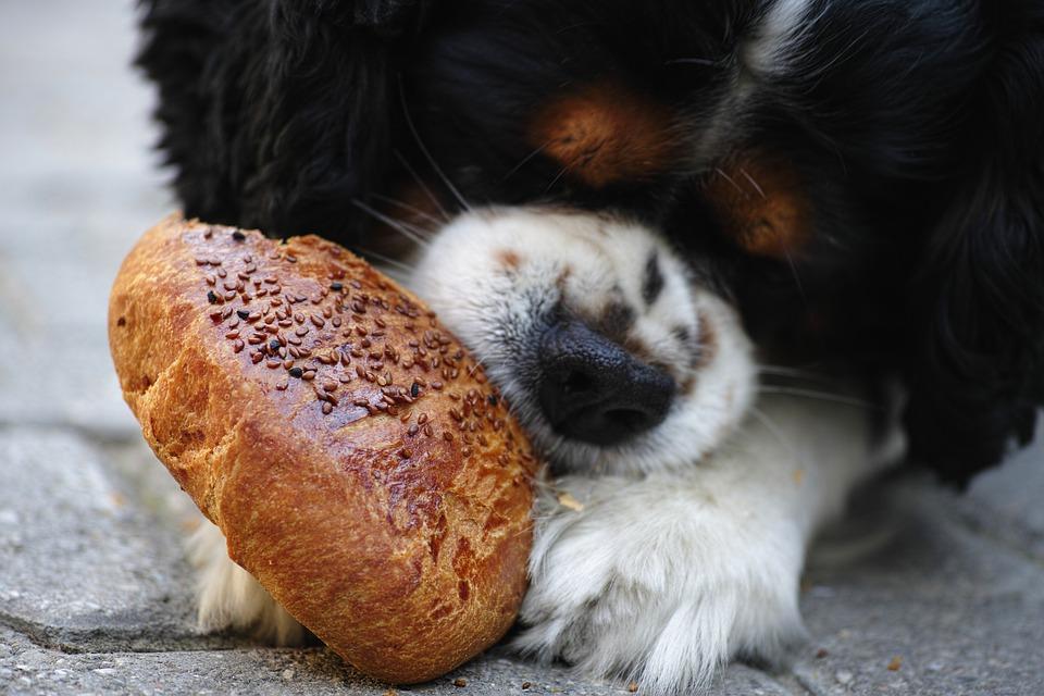 Může jíst pes pečivo