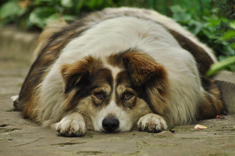 Tlustý pes aneb obezita u psů a jak ji řešit